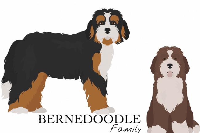 Bernedoodle Puppies Sale Adoption
